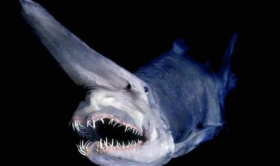 The Goblin Shark - the ugliest shark that ever did live